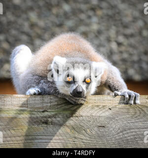 ZSL London Zoo, London, UK, 18th April 2019. Catching some rays! A ring-tailed lemur gazes up into the warm sunshine, whist the rest of his troupe snooze nearby. Lemurs are renowned sun-worshippers and  love nothing more than an afternoon of sunbathing. Credit: Imageplotter/Alamy Live News - Stock Image