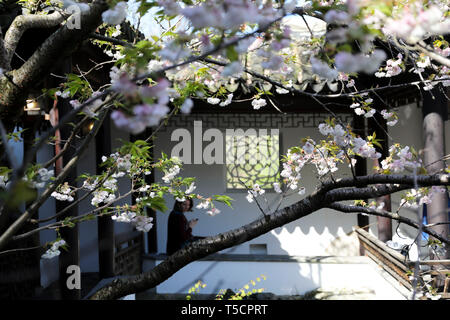 (190423) -- NEW YORK, April 23, 2019 (Xinhua) -- A visitor enjoys the spring scenery in the Chinese Scholar's Garden on Staten Island, New York, the United States, April 23, 2019. (Xinhua/Wang Ying) - Stock Image