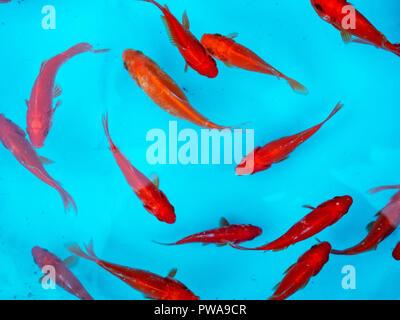 Red goldfish at Nowruz, Iranian New Year - Stock Image