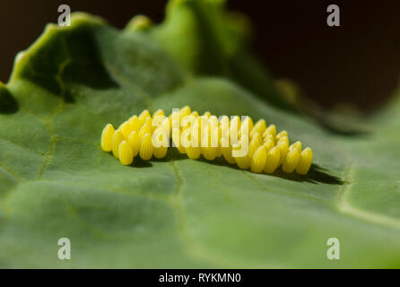 Eggs of Large white butterfly, Pieris brassicae on cabbage, Spain. - Stock Image