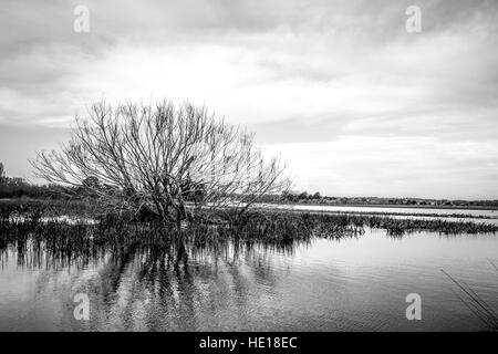 Partially submerged tree and water grasses in a rain-swollen lake. Black-and-white. B&W - Stock Image