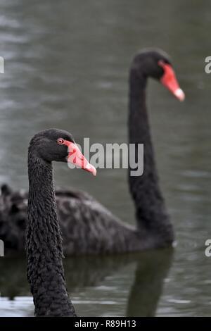 Two Australian, Queensland Black Swans ( Cygnus atratus ) in a lagoon - Stock Image