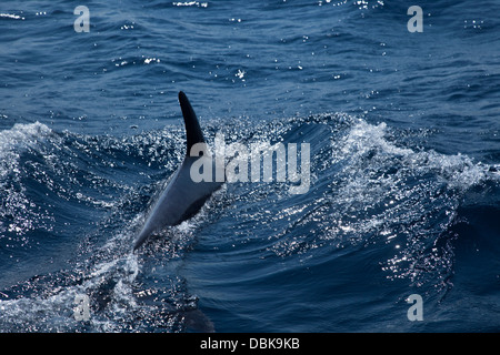 Dolphin breaching waves in Tunisia. - Stock Image