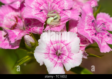 Crab spider (Misumena vatia) in profile sitting in wait for prey on maiden pink flowers. Taken in England. - Stock Image