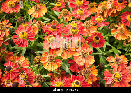 Densely planted red and orange Helenium plants in full bloom in Summer - Stock Image