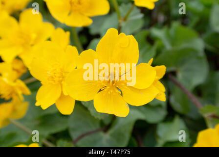 marsh-marigold, kingcup, Caltha palustris - Stock Image