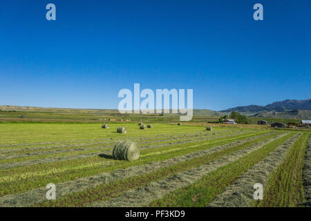 Loose hay and hay bales lay in a green field waiting for the harvest. - Stock Image