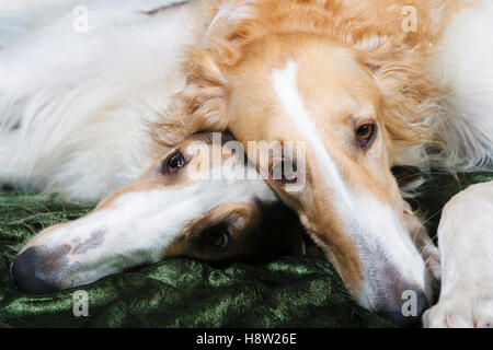 two borzoi dogs in cuddling each other - Stock Image