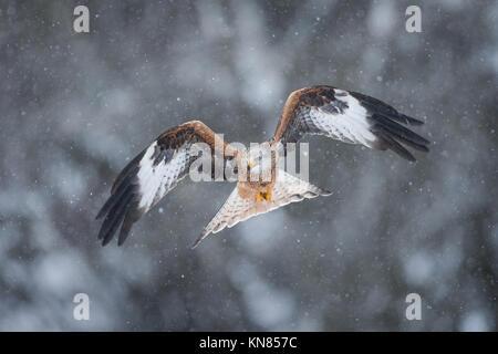 Red Kite (Milvus milvus) flying through heavy snowfall. Rhayader, Wales, UK - December - Stock Image