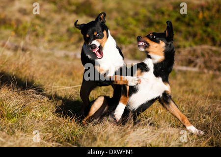 Appenzeller Sennenhund, young dogs playing, North Tyrol, Austria - Stock Image