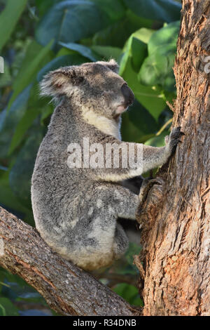 An Australian, Queensland Female Koala ( Phascolarctos cinereus ) up in a tree sleeping - Stock Image