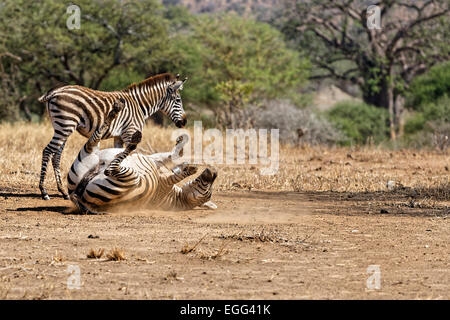 Zebras in Tangire National Park, Tanzania, East Africa. - Stock Image