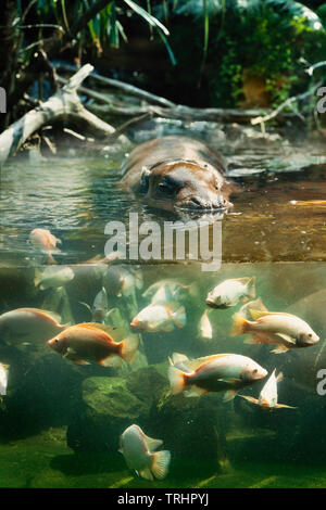 Singapore Zoo, pygmy hippopotamus enclosure, an exhibit designed to allow 'split' underwater & terrestrial viewing - Stock Image