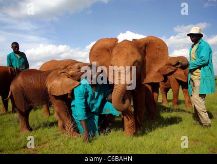 KEEPERS AND ORPHAN ELEPHANTS AT SHELDRICK ELEPHANT ORPHANAGE - Stock Image