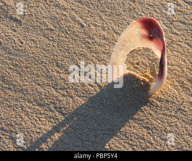 shell on the beach - Stock Image