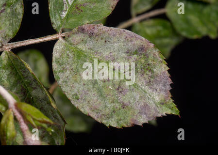 Powdery mildew, Podosphaera pannosa, fungal disease on rose leaves, Rosa 'American Pillar', Berkshire, May - Stock Image