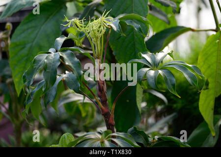 schefflera shweliensis,foliage,leaves,red,stem,stems,stemmed,tree,shrub,shrubs,RM Floral - Stock Image