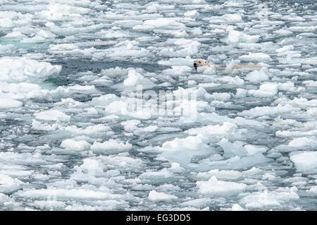 Solitary Polar Bear, Ursus Maritimus, swimming in melting ice, Olgastretet Pack Ice, Svalbard Archipelago, Norway - Stock Image