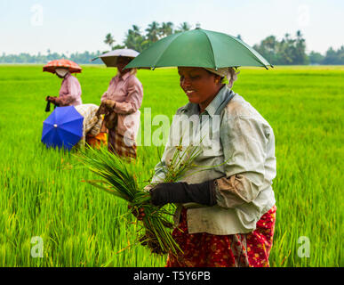 ALAPPUZHA, INDIA - MARCH 19, 2012: Unidentified farmers working in the beauty rice field in Asia - Stock Image