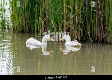 Two Pekin white ducks looking at each other nearly forming a heart shape with their beaks - Stock Image