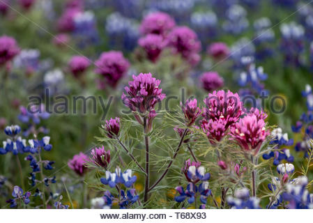 Purple cloves and lupinus happy background and copyspac,  the North Table Mountain Ecological Preserve in Oroville, California, USA. - Stock Image