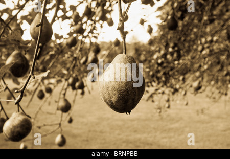 Pear tree highlighting one pear with selective focus - Stock Image