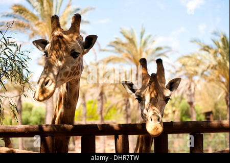 two giraffes at fence - Stock Image