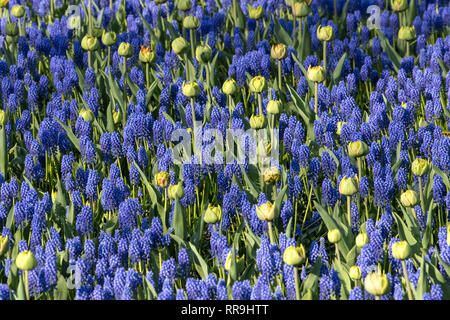 Hyacinthus, Species orientalis, Hyacinth. Attractive spring bulbous flowers. Highly fragrant however the bulbs contain a poison called oxalic acid, Th - Stock Image