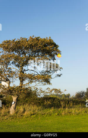 Child's bright yellow and orange toy kite stuck high in a tree at the edge of a field in Lancashire, UK. - Stock Image