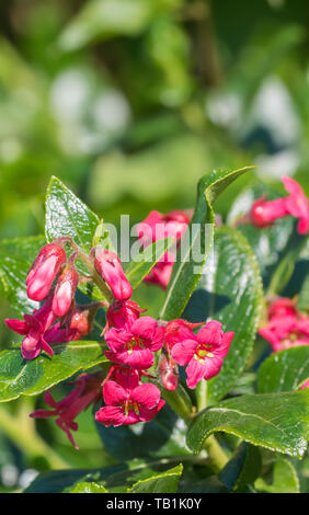 Red flowering Escallonia rubra hedge plant in Spring in West Sussex, UK. - Stock Image