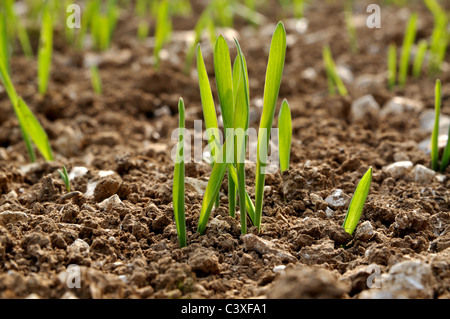 Wintwe barley plants - Stock Image