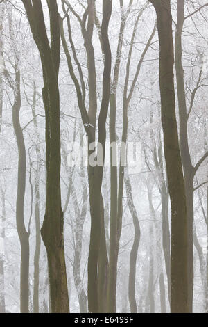Trees with snow and frost, nr Wotton, Glos, UK - Stock Image