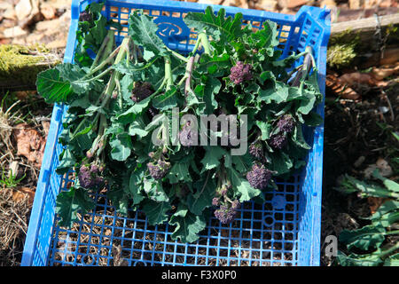 Brassica oleracea 'Purple Sprouting' Broccoli close up of harvested sprouts - Stock Image