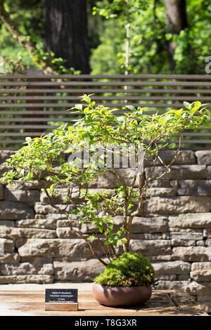 Highbush blueberry bonsai - Vaccinium corymbosum - age 15 years, at Portland Japanese Garden in Portland, Oregon, USA. - Stock Image