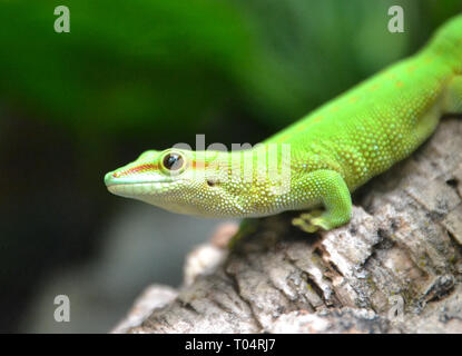 Green Day Gecko at Tropical Wings Zoo, Chelmsford, Essex, UK. This zoo closed in December 2017. - Stock Image