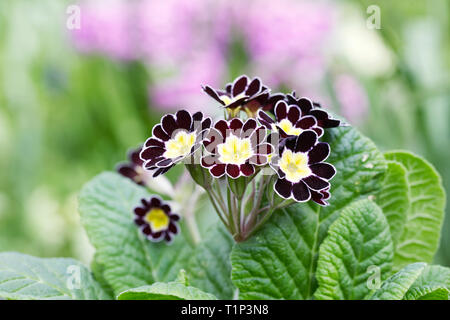 Polyanthus 'Silver Lace' flowers in the garden. - Stock Image