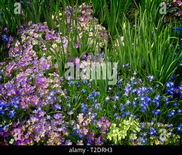 FLORA: Glory of the Snow, (lat: Chionodoxa luciliae) - Stock Image