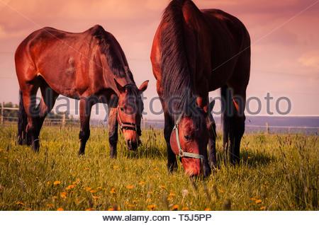 Horses grazing - Stock Image