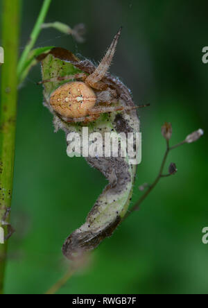 Four-spot Orb-weaver (Araneus quadratus). This spider has set up a hiding place in a withered leaf, which is connected with its net by signal and catching threads. Here it will rest until vibrations in the net indicate a trapped insect. germany - Stock Image