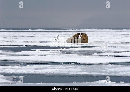 Two Walruses on the Ice, outside Spitsbergen. Svalbard, Norway - Stock Image