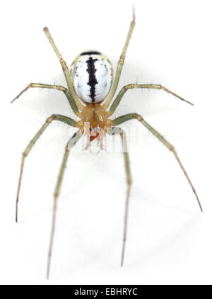 Fermale (Neriene emphana) spider on a white background, part of the family Linyphiidae, the Sheetweb weavers. - Stock Image