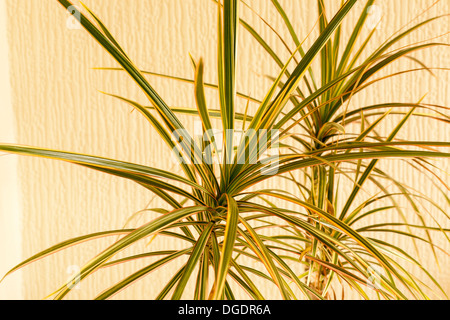 tricolour or rainbow Dracaena plant in a room - Stock Image