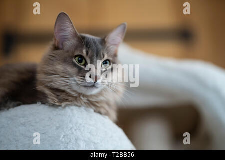 Somali cat breed, pedigree Blue (dilute Usual). Shadow is a 4-year-old male in this picture. - Stock Image
