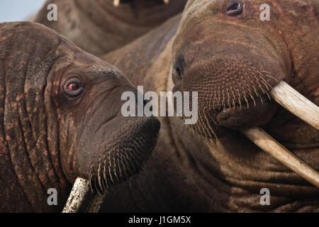 Walruses gather in a pull out on the beach in the Bering Land Bridge National Preserve, Alaska. - Stock Image