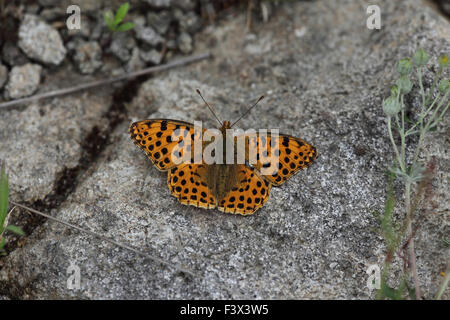 Queen of spain fritillary At rest on stone Hungary June 2015 - Stock Image
