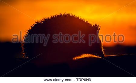 Hedgehog, (Scientific name: Erinaceus Europaeus) wild, native, European hedgehog in natural habitat, facing right, foraging at sunset. Close up. - Stock Image