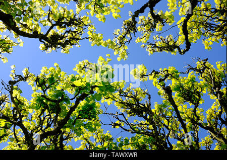 green wisteria leaves on blue sky background, norfolk, england - Stock Image