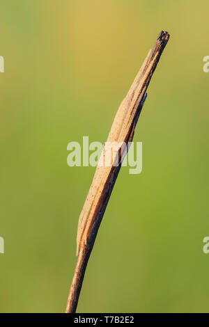 A Longjawed Orbweaver (Tetragnatha sp.) spider blends in with the twig on which it perches. - Stock Image