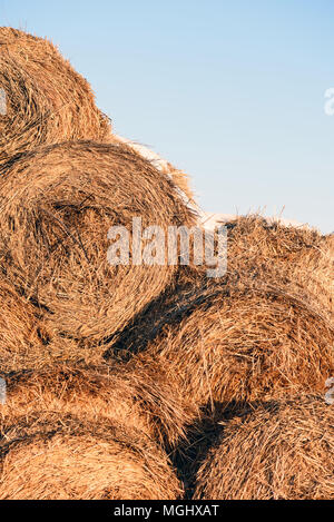 Round straw hale bays used as fodder and bedding for horses and cows stacked in rows in winter with blue-sky background and copy space area for farmin - Stock Image