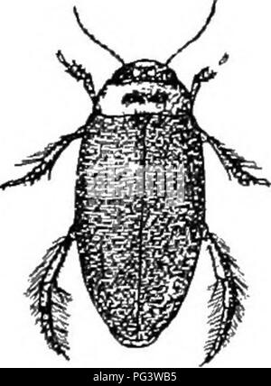 ". An illustrated descriptive catalogue of the coleoptera or beetles (exclusive of the Rhynchophora) known to occur in Indiana : with bibliography and descriptions of new species . Beetles. XVIII. CoLYMBETES Clairv. 1.806. (Giv, ""dive-i-swim."") Rather large elongate beetles having the side-; of thorax oblique, not margined; scutellum punctate; elytra Aith very fine transverse stria}. The males have the anal segment triangularly emarginate and joints 2 and 3 of front and middle tarsi clothed with small equal disks. One .species occurs in Indiana. 448 (1474). CoLYMBETES scxjLPTiLis Har - Stock Image"
